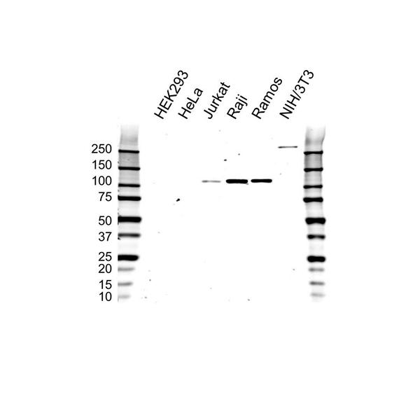 PTK2B Antibody (PrecisionAb<sup>TM</sup> Antibody) gallery image 1