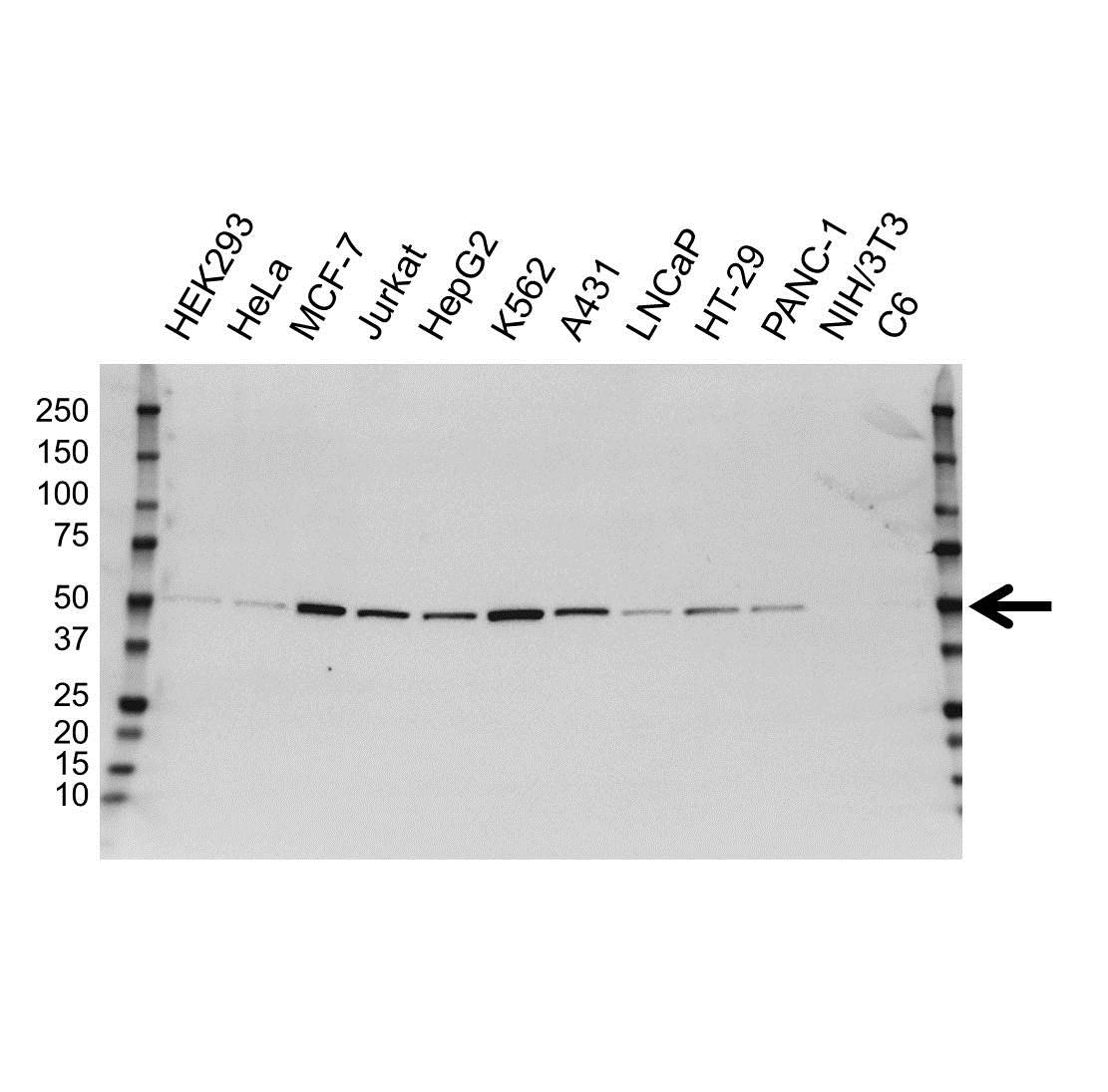 PTPN1 Antibody (PrecisionAb<sup>TM</sup> Antibody)   OTI1B4 gallery image 1
