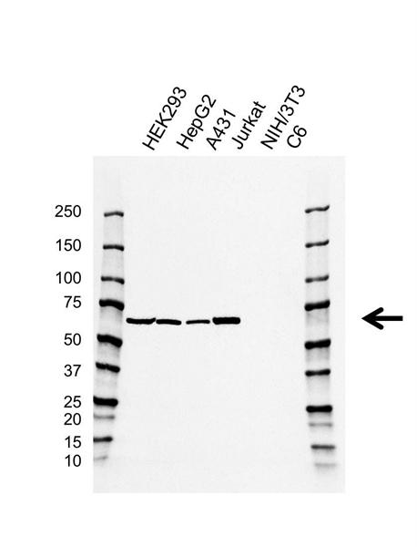 PTPN6 Antibody (PrecisionAb<sup>TM</sup> Antibody) | AB01/4C6-1 gallery image 1