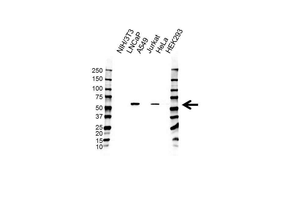 PTRF Antibody (PrecisionAb<sup>TM</sup> Antibody) gallery image 1