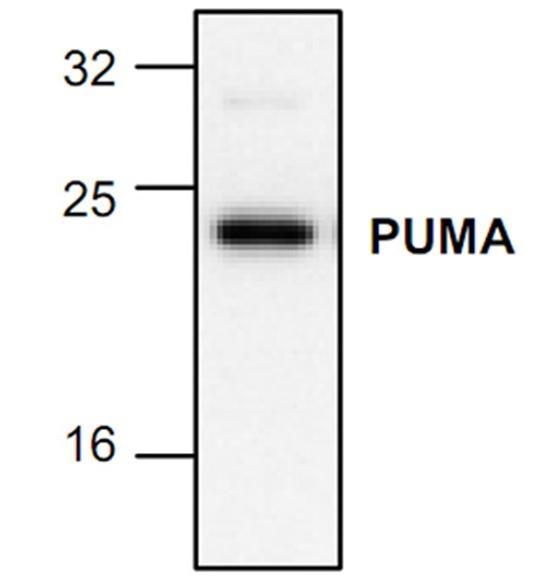 PUMA Antibody gallery image 1