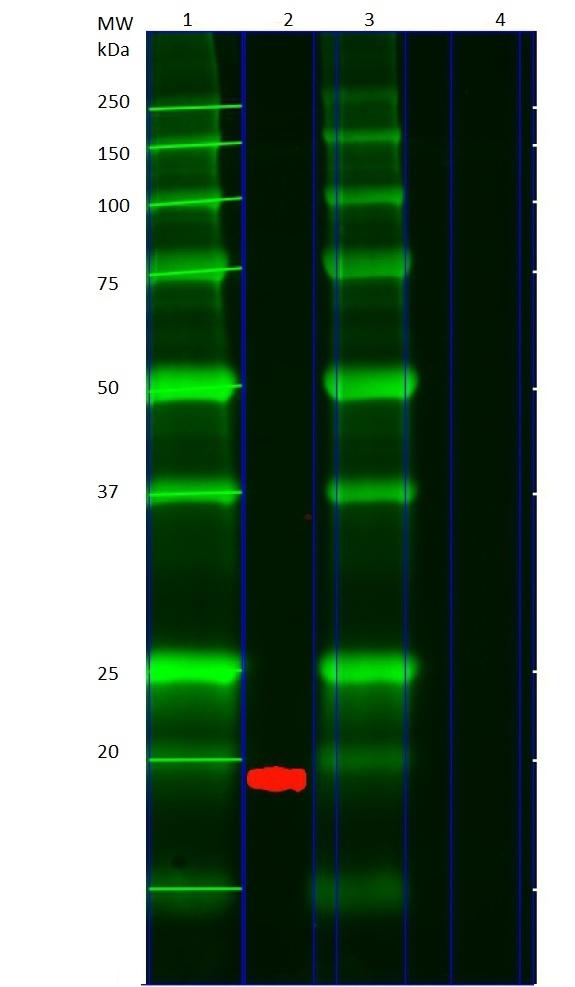 PUMA Antibody gallery image 2
