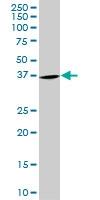 PURA Antibody | 3F10 gallery image 1