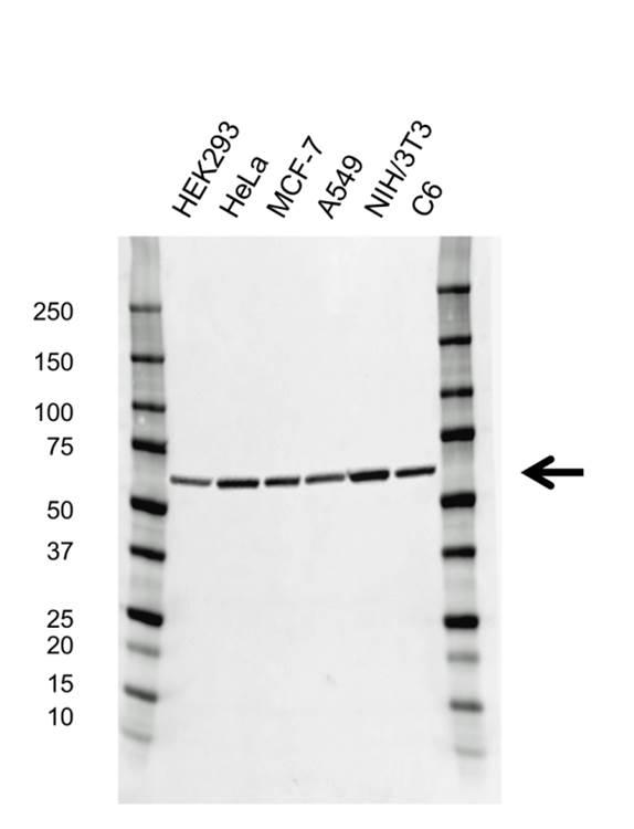 Pyruvate Kinase Pkm Antibody (PrecisionAb<sup>TM</sup> Antibody) gallery image 1