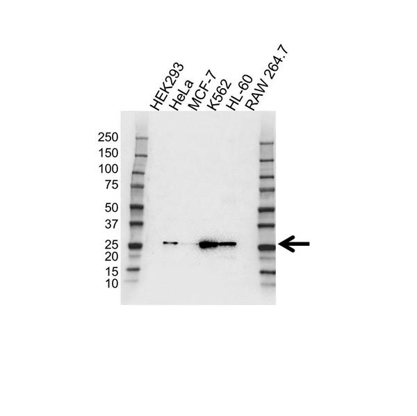 RAB27A Antibody (PrecisionAb<sup>TM</sup> Antibody) gallery image 1