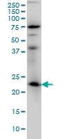RAB3A Antibody | 4H7 gallery image 1