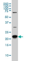RAB8A Antibody | 3G1 gallery image 2