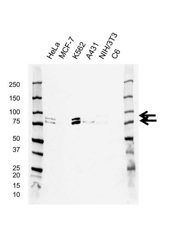 RAD18 Antibody (PrecisionAb<sup>TM</sup> Antibody) | AB02/3C6 gallery image 1