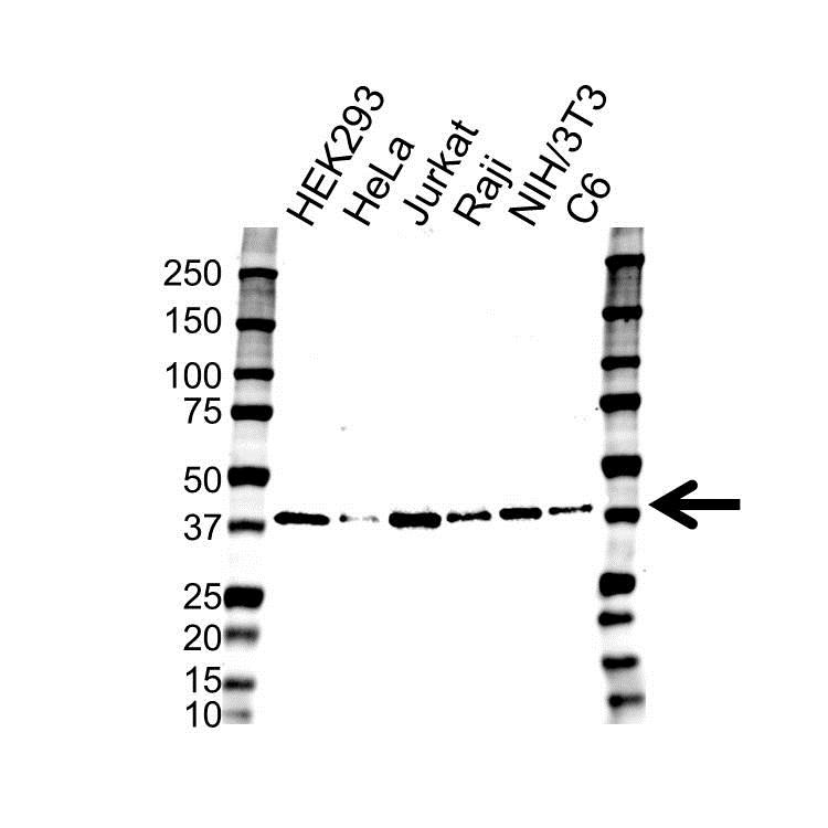 RAD51 Antibody (PrecisionAb<sup>TM</sup> Antibody) gallery image 1