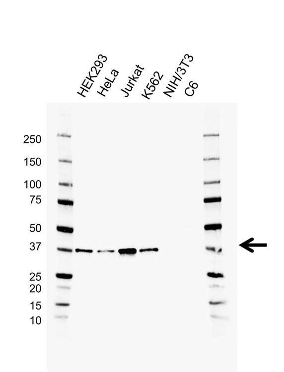 RAD51 Antibody (PrecisionAb<sup>TM</sup> Antibody) | AB02/1A3 gallery image 1