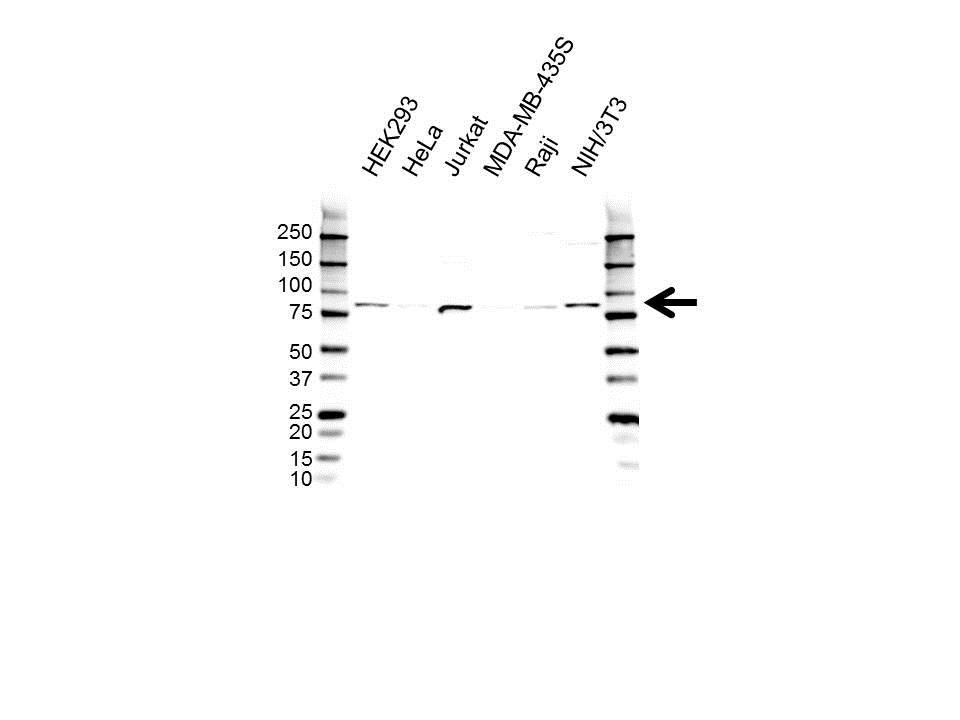 RAD54L Antibody (PrecisionAb<sup>TM</sup> Antibody) gallery image 1