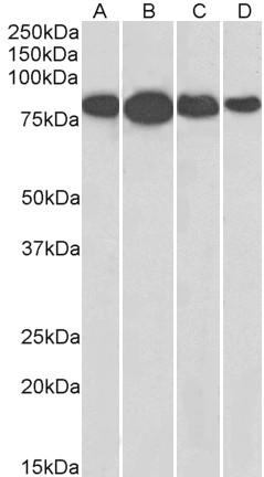 Radixin Antibody gallery image 2