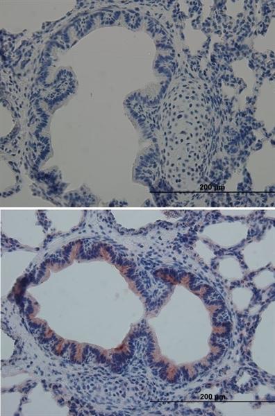 RAGE Antibody gallery image 2