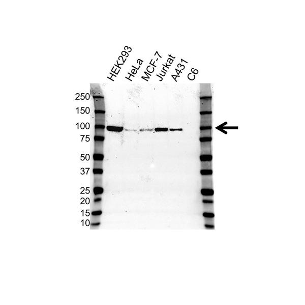 RALBP1 Antibody (PrecisionAb<sup>TM</sup> Antibody) | OTI11B2 gallery image 1