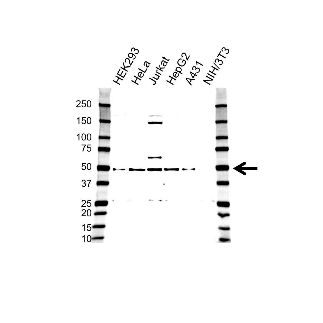 RAP1 Antibody (PrecisionAb<sup>TM</sup> Antibody) gallery image 1