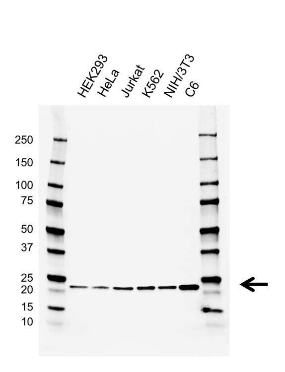 RAP1A/B Antibody (PrecisionAb<sup>TM</sup> Antibody)   AB01/2C6.10.4 gallery image 1