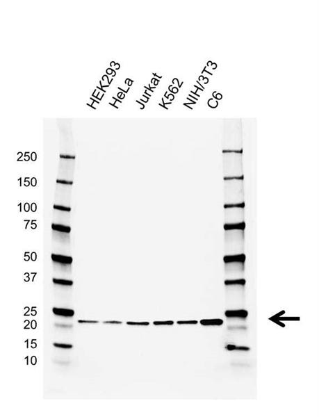 RAP1A/B Antibody (PrecisionAb<sup>TM</sup> Antibody) | AB01/2C6.10.4 gallery image 1