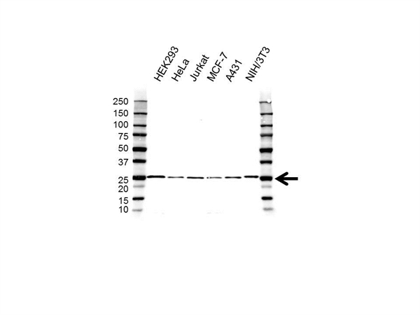 RAP1A/B Antibody (PrecisionAb<sup>TM</sup> Antibody) gallery image 1