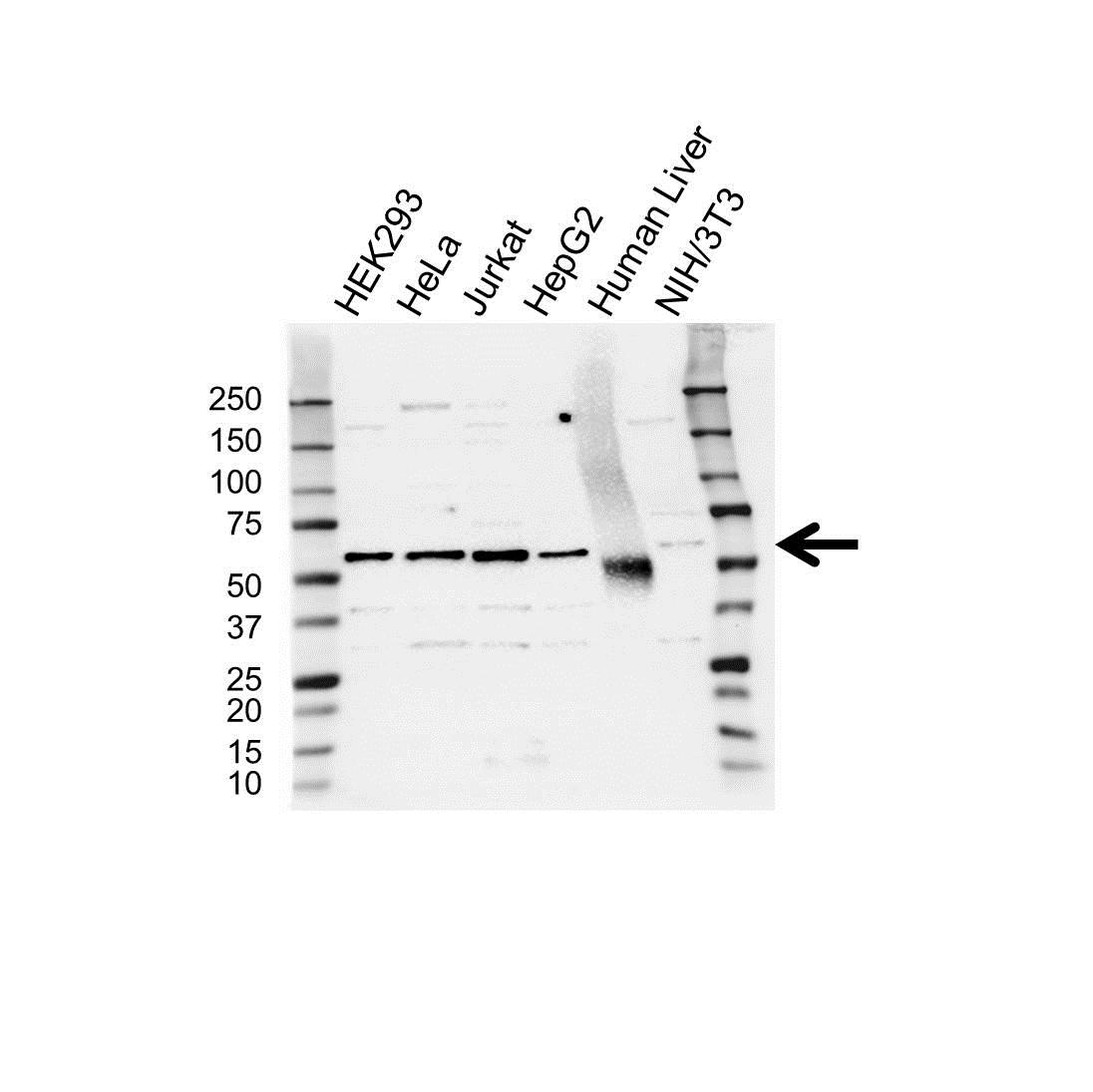 RAP1GDS1 Antibody (PrecisionAb<sup>TM</sup> Antibody) gallery image 1