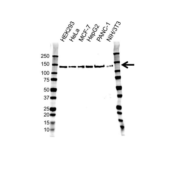 RAPTOR Antibody (PrecisionAb<sup>TM</sup> Antibody) | 1A9 gallery image 1