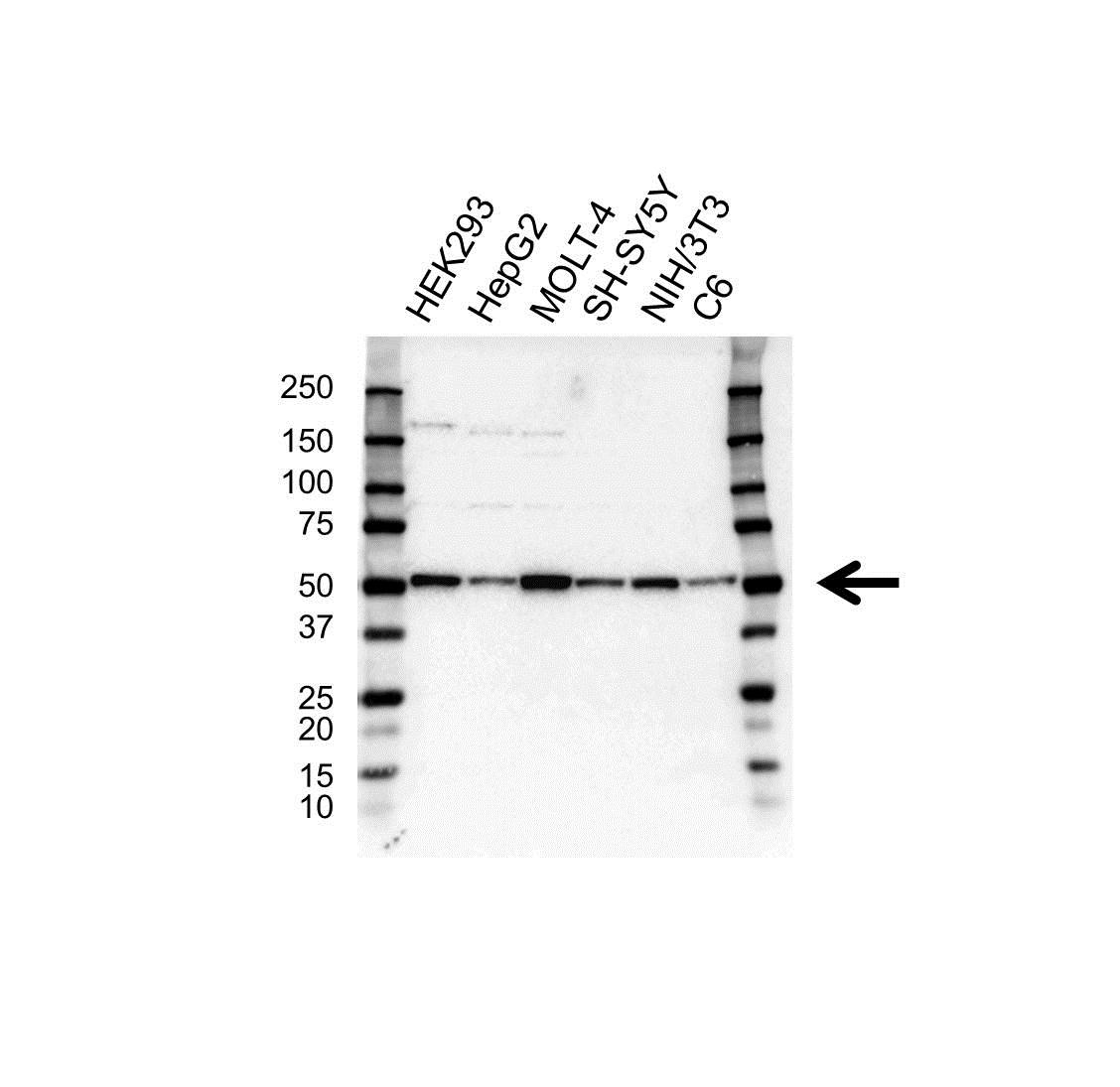RBBP7 Antibody (PrecisionAb<sup>TM</sup> Antibody) gallery image 1