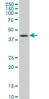 Rbpjk Antibody | 4E12 gallery image 1