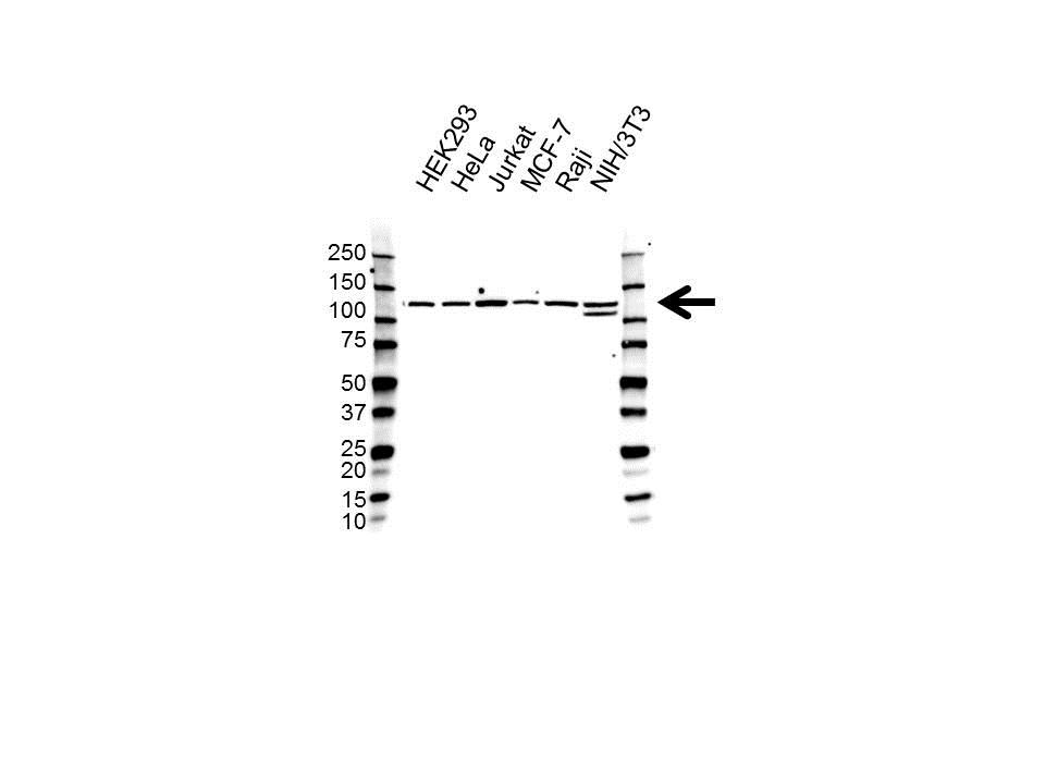 RE1-SILENCING Transcription Factor Antibody (PrecisionAb<sup>TM</sup> Antibody) gallery image 1