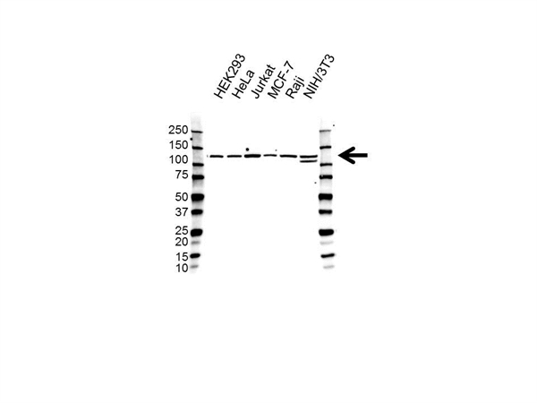 RE1-SILENCING Transcription Factor Antibody (PrecisionAb<sup>TM</sup> Antibody) gallery image 1