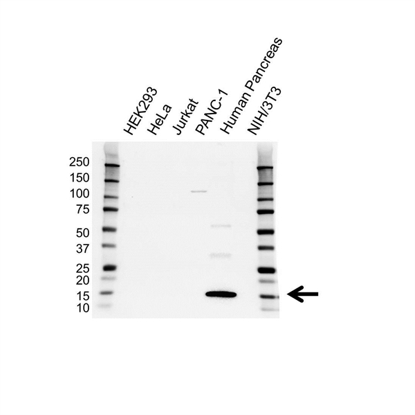 REG1A Antibody (PrecisionAb<sup>TM</sup> Antibody) gallery image 1