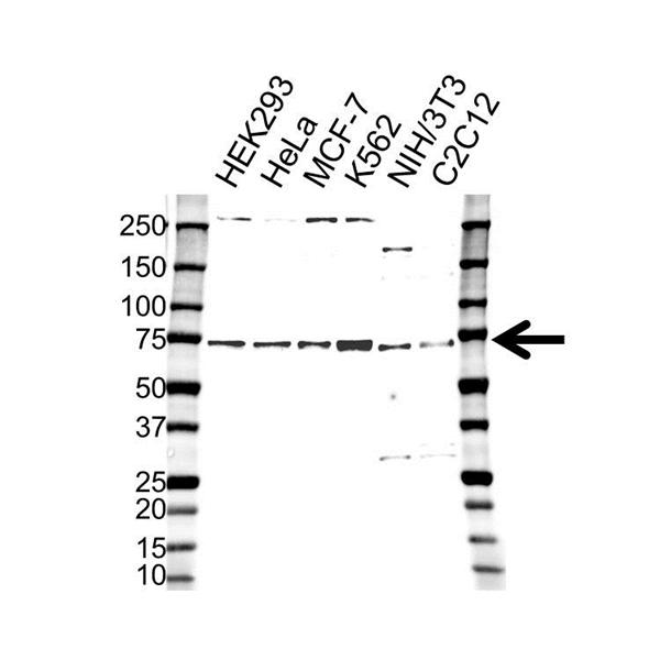Retinoblastoma-Binding Protein 5 Antibody (PrecisionAb<sup>TM</sup> Antibody) gallery image 1