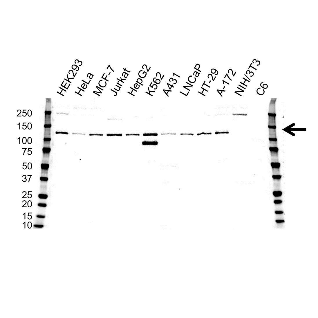 RETINOBLASTOMA-LIKE Protein 2 Antibody (PrecisionAb<sup>TM</sup> Antibody) gallery image 1
