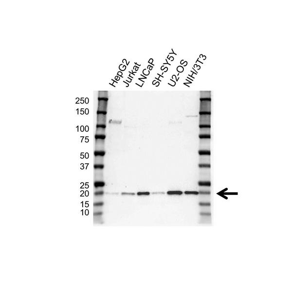 RHOC Antibody (PrecisionAb<sup>TM</sup> Antibody) | OTI3A5 gallery image 1