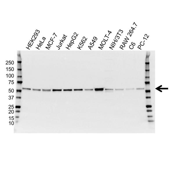 RING1 Antibody (PrecisionAb<sup>TM</sup> Antibody) gallery image 1