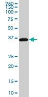 RP2 Antibody | 1B4 gallery image 1