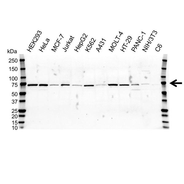 RPA1 Antibody (PrecisionAb<sup>TM</sup> Antibody) gallery image 1