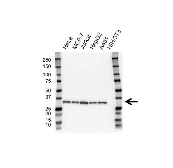 RPA2 Antibody (PrecisionAb<sup>TM</sup> Antibody)   OTI9A1 gallery image 1