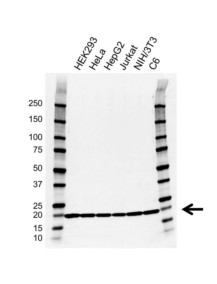 RPL11 Antibody (PrecisionAb<sup>TM</sup> Antibody) | EF01/3G9 gallery image 1