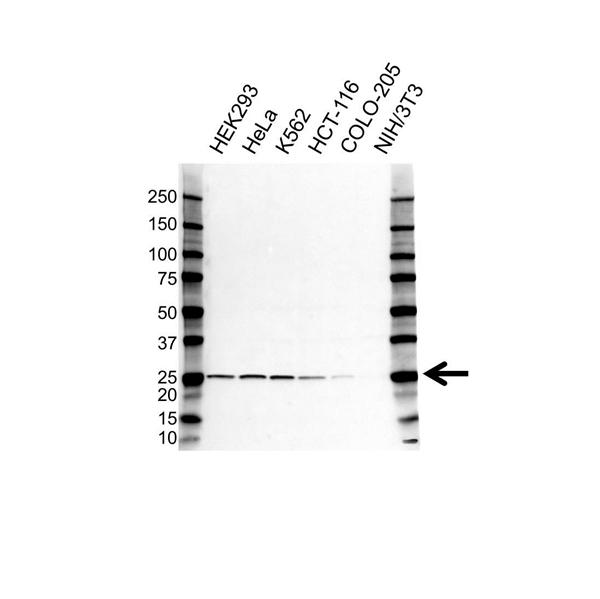 RPL13A Antibody (PrecisionAb<sup>TM</sup> Antibody) gallery image 1
