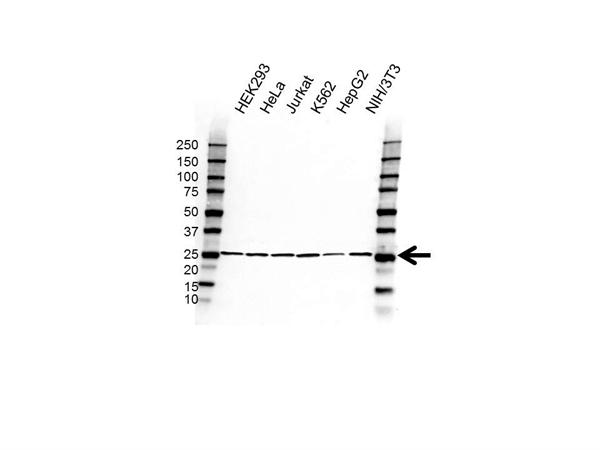 RPL15 Antibody (PrecisionAb<sup>TM</sup> Antibody) gallery image 1