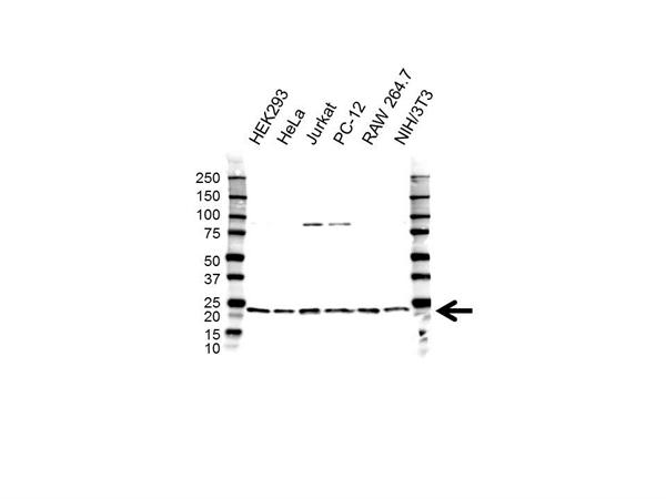 RPL26 Antibody (PrecisionAb<sup>TM</sup> Antibody) gallery image 1