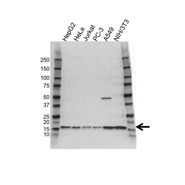 RPL30 Antibody (PrecisionAb<sup>TM</sup> Antibody) gallery image 1