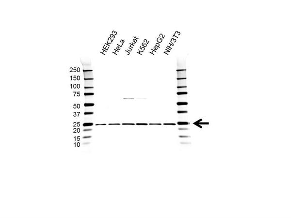RPL9 Antibody (PrecisionAb<sup>TM</sup> Antibody) gallery image 1