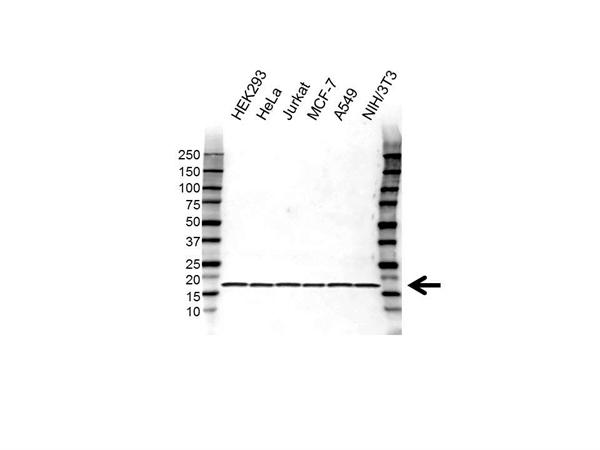 RPS16 Antibody (PrecisionAb<sup>TM</sup> Antibody) gallery image 1