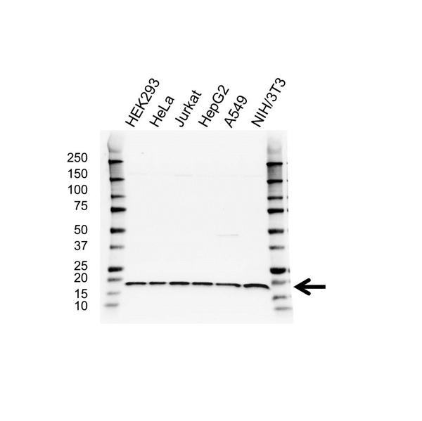 RPS17 Antibody (PrecisionAb<sup>TM</sup> Antibody) gallery image 1