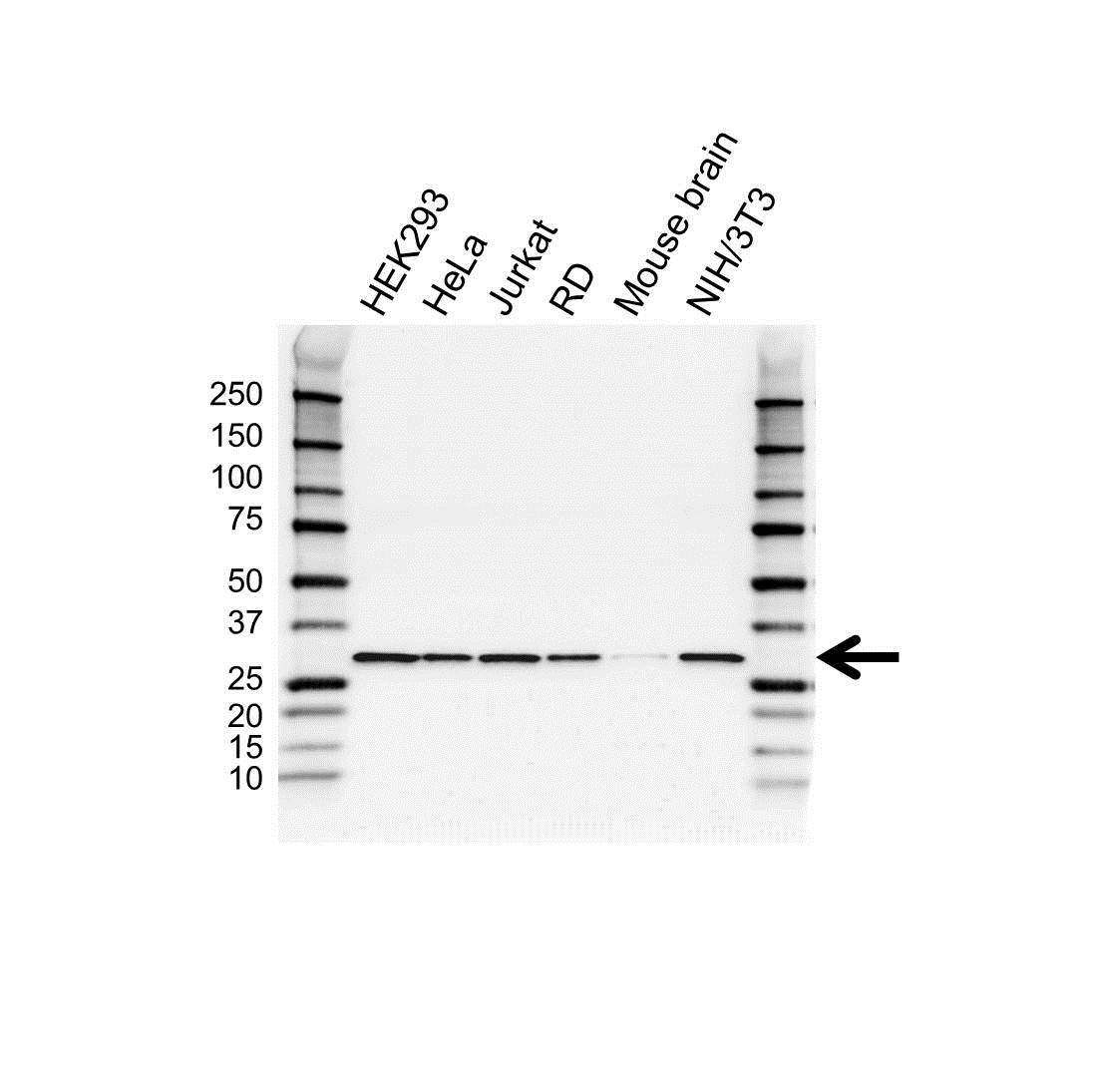 RPS3 Antibody (PrecisionAb<sup>TM</sup> Antibody) gallery image 1
