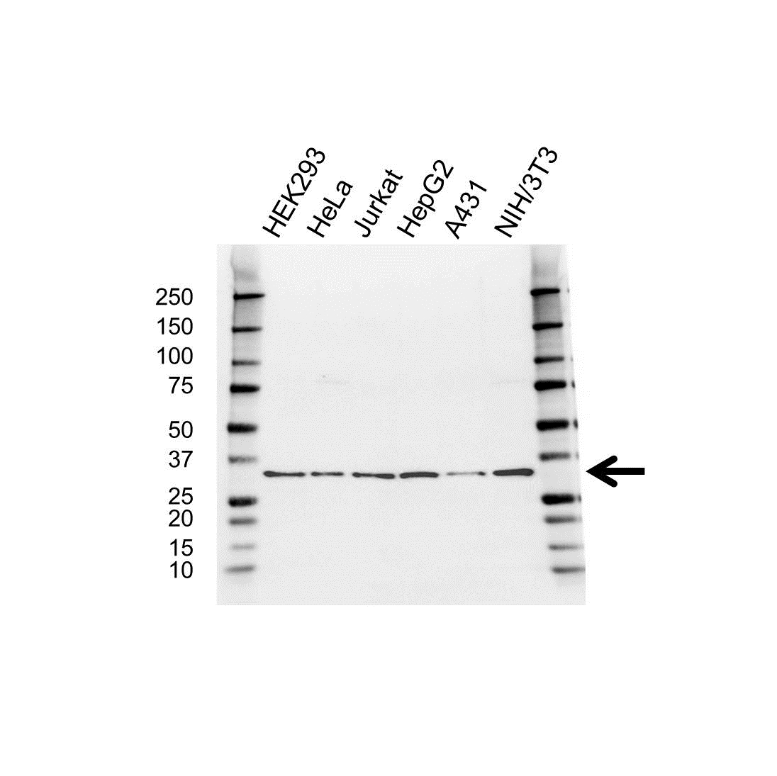 RPS3A Antibody (PrecisionAb<sup>TM</sup> Antibody) gallery image 1