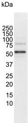 RUNX1 Antibody | 4E7 gallery image 3