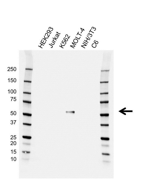RUNX1 Antibody (PrecisionAb<sup>TM</sup> Antibody) gallery image 1