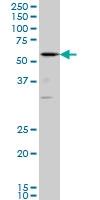 RUNX2 Antibody | 4D5 gallery image 1