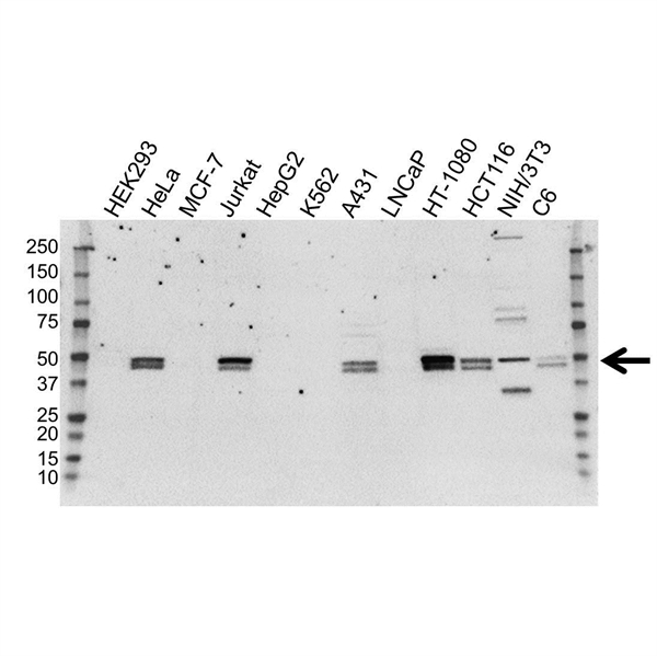 RUNX3 Antibody (PrecisionAb<sup>TM</sup> Antibody) gallery image 1